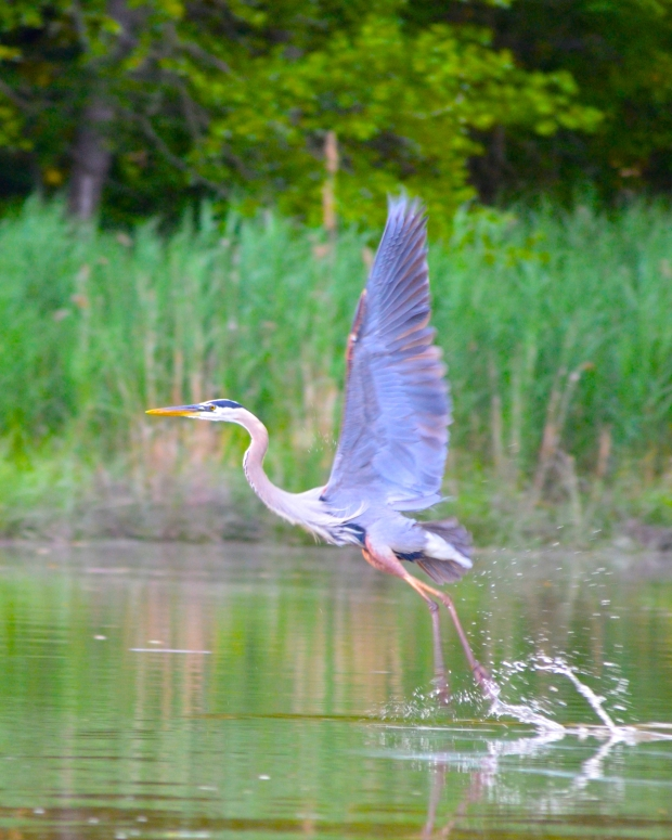 Blue Heron - Queentown MD